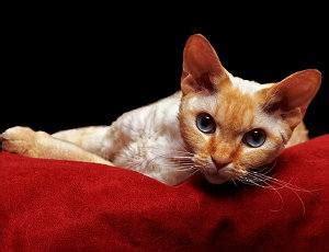 gatitos traviesos 5 razas de gatos traviesos que merecen mucha paciencia y