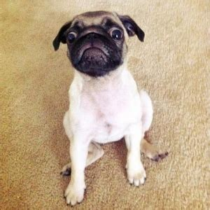 tips for pug owners for non owners