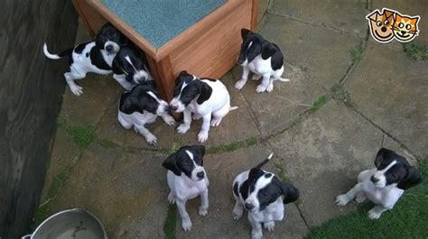 corbe puppies pointer puppies corby northtonshire pets4homes