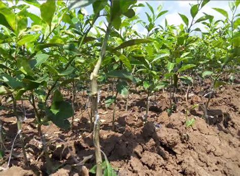 Bibit Pohon Jeruk Purut bibit buah jual bibit nusa tenggara timur