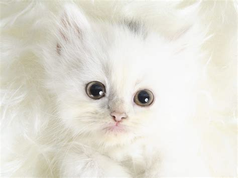 Funny Animals Cute White Kittens
