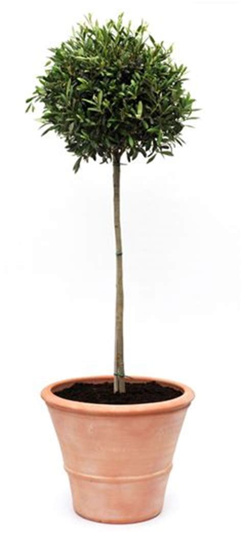 trees in a pot potted olive trees on