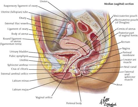 sagittal section of the female pelvis the pelvis and the perineum basicmedical key