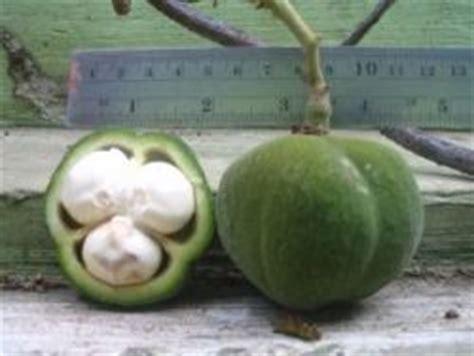 Minyak Kemiri Sunan buah kemiri sunan sebagai sumber energi alternatif