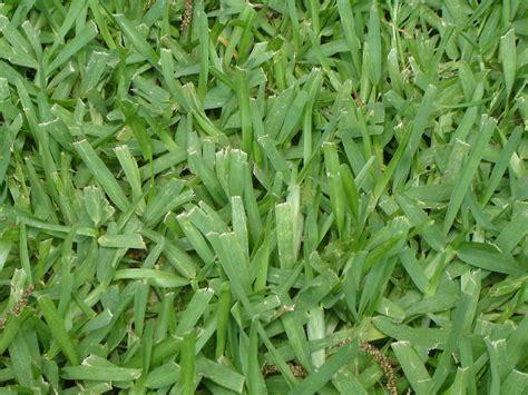 St Grass Bermuda Grass It S A Gruene Thing