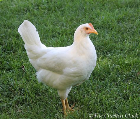 Raise Chicken In Backyard Tips For Selecting Chicken Breeds The Breed I Need The