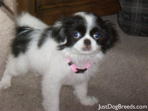 large breed from japan leila japanese chin breeds