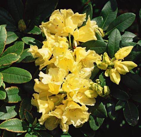 Rhododendron Pflege by Rhododendron Pflegen Gewusst Wie Welt