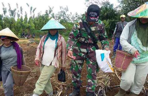 Benih Jagung Nk 6326 babinsa sanggu ledo bersama ppl dingi petani tanam jagung