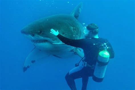 great white shark dive touching great white sharks is fearless feat for