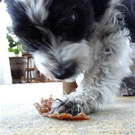 fanconi dogs chicken recall 2011 treats from china are dogs sick veterinary news