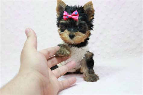 how much are yorkies worth adopt a yorkie dc photo