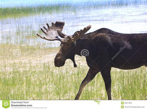 Ready Stock Velvet The bull moose ready to charge stock image image of velvet