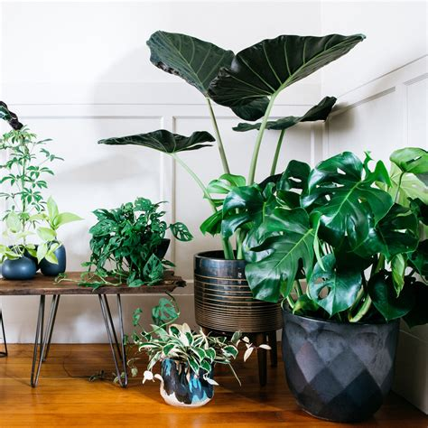 biggest house plants big house plants www pixshark com images galleries