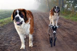 how to a st bernard baby goat to snuggle with st bernards unleashed