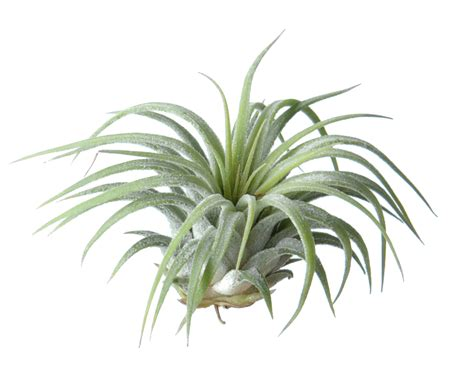 air plants image gallery tillandsia