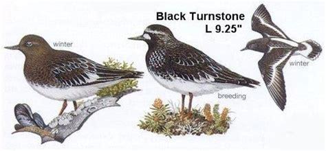 black turnstone oregon shore birds