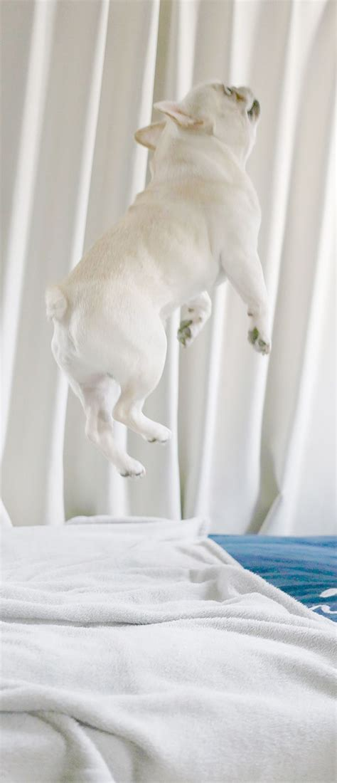 can pugs fly 12 pugs totally defying the laws of physics