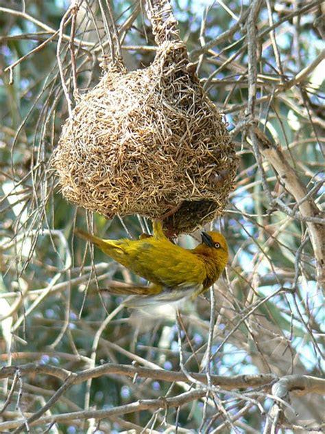 weaver birds weave the coolest nests woven pinterest