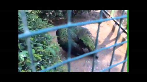 Anisya Maxy observasi fauna burung merak di ragunan bassama anisya