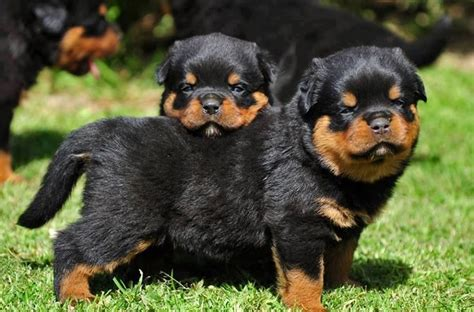 teacup rottweiler puppies rottweiler puppies club puppies breeds puppies for sale