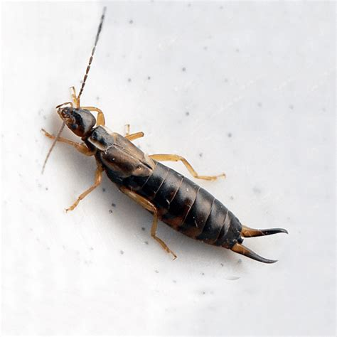 can bed bugs get in your ear how to get rid of ear wigs how to get rid of stuff