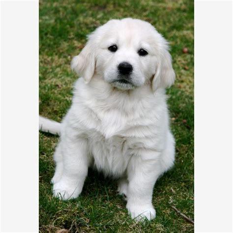 golden retriever puppy white spot on 17 best ideas about white golden retrievers on
