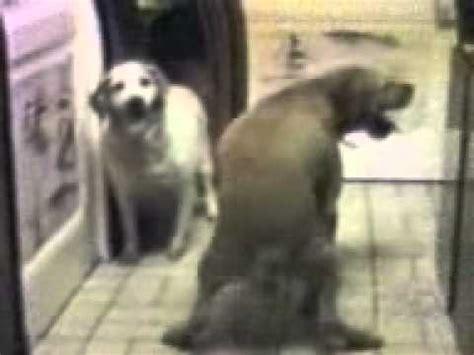 anjing kawin dogs mating anjing kawin dengan wanita foto 2017