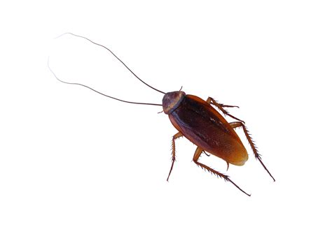 cockroach crawls into a sleeping mans ear pest