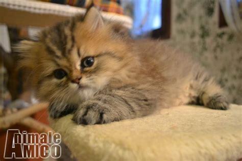 persiani chinchilla vendita cucciolo chinchilla da privato a vicenza gatti