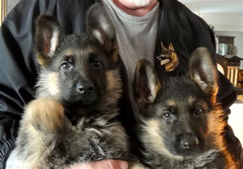 cheap rottweiler puppies for sale in michigan german shepherd puppies for sale in ohio cheap breeds picture