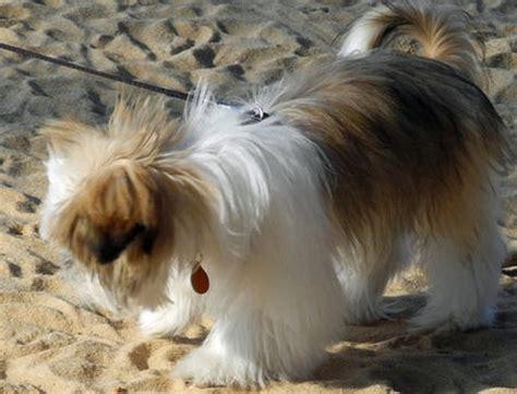 gizmo shih tzu gizmo the shih tzu puppies daily puppy