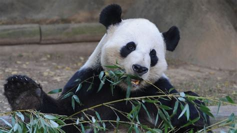 picks bowl winner zoo atlanta panda picks fil a bowl winner