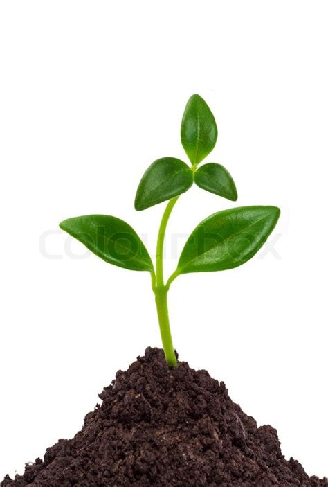 Young plant in ground isolated on white background   Stock
