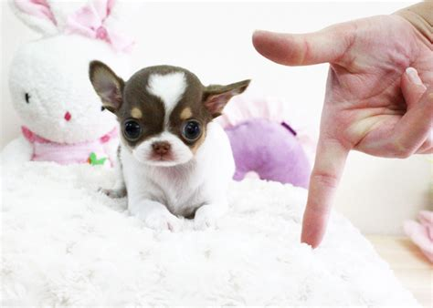 cheap teacup chihuahua puppies for sale chihuahua teacup puppy for sale micro puppies cheap litle pups