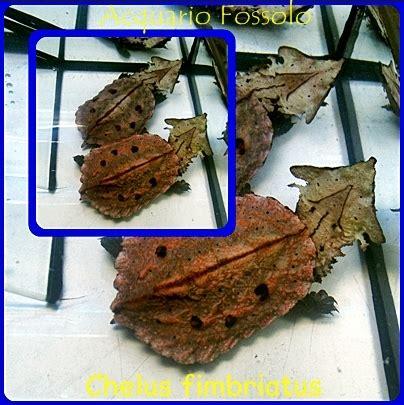 alimentazione tartarughe acqua dolce chelus fimbriatus mata mata rettili tartarughe