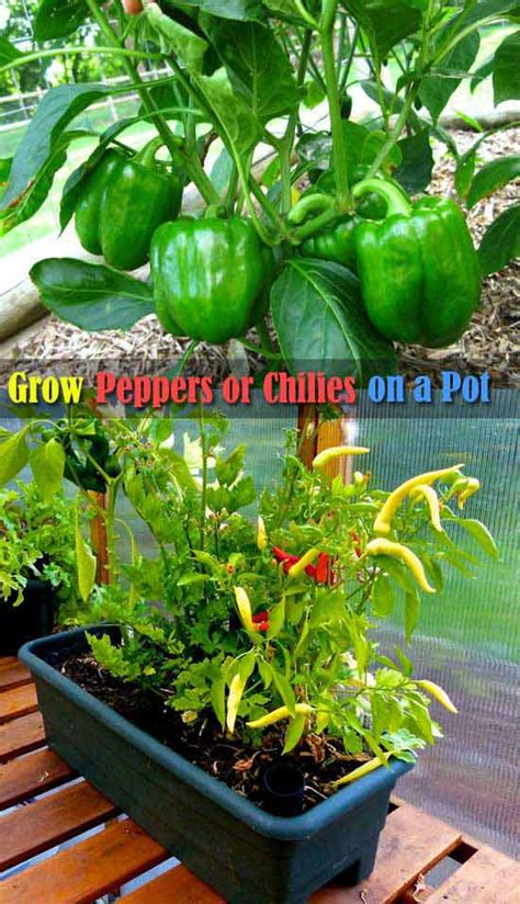 how to bell your how to grow tasty bell and chili peppers in your garden bilderrahmen ideen