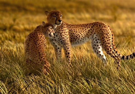 African Safari Home Decor by Fototapete Tapete Natur Wildniss Tiere Gepard Safari Foto