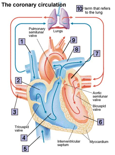 the four hollow sections of the heart science blog 4 journal in science