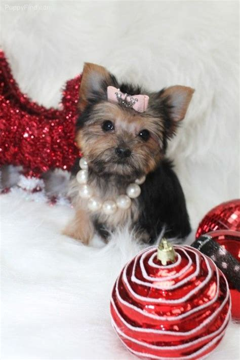 florida yorkie breeders teacup yorkie puppy for sale in florida t cup puppies for sale