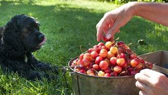 cherries for dogs can dogs eat cherries dogtime