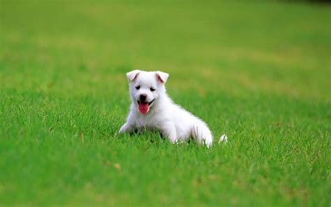 puppy definition puppy backgrounds wallpaper high definition high quality widescreen