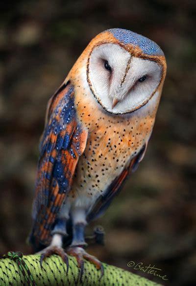 heart shaped face barn owl by benheine pinned by www