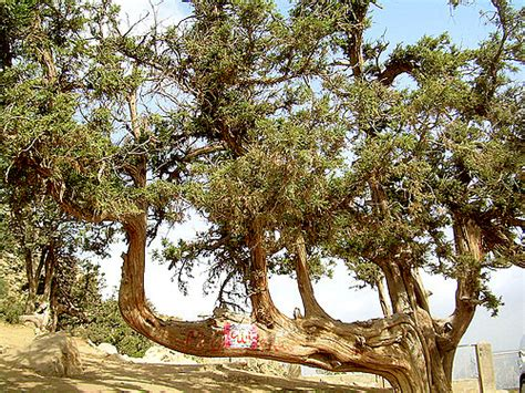 A Tree Miracle Free Miracle Name Of Allah Formed By Tree Ziarat In Pakistan Flickr
