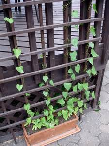 growing annual vines learn about different types of annual vines