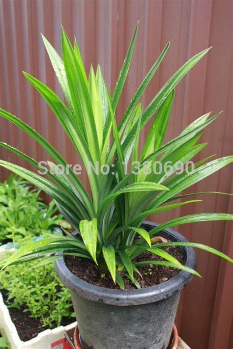 where to buy cheap house plants popular pandan plant buy cheap pandan plant lots from