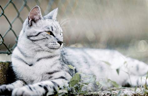 white bengal cat kittens white bengal cat www pixshark com images galleries