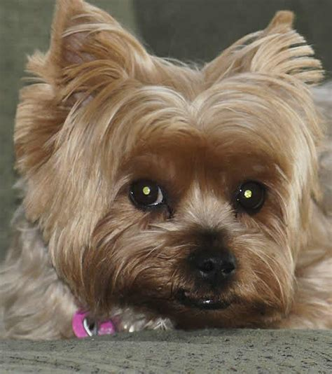 small breeds yorkie small breeds terrier