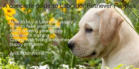raising a lab puppy labrador puppies a complete guide