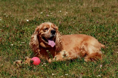 Facts About the Truly Amazing Golden Retriever-Cocker ...